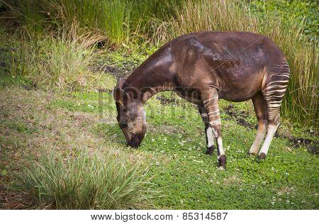 Beautiful Striped Okapi