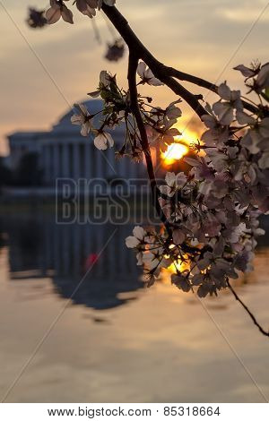 Jefferson Memorial with Cherry Blossoms at Sunrise with Cherry Blossoms