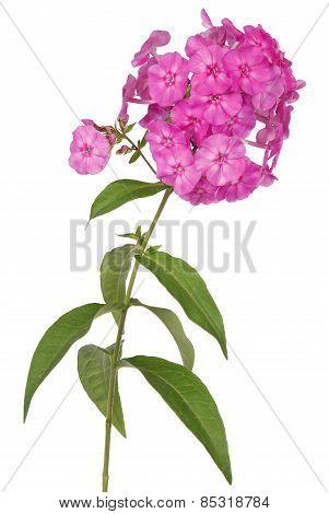 Pink Flower Phlox (clipping Path)