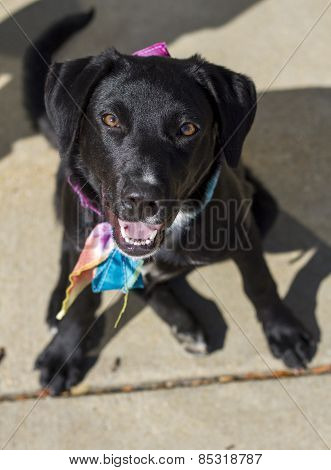 Female Black Labrador Retriever Mix in Sitting Position Looking Up