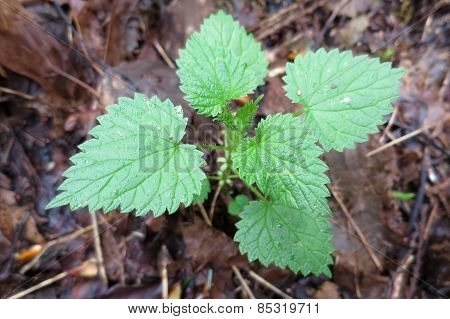 Young Stinging Nettle Plant