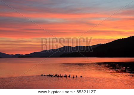Family of Ducks Takes Morning Swim on Lake at Sunrise