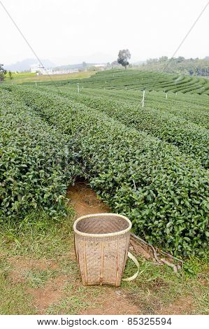 Green Tea Field And Basketfor Collected Green Tea Leaves