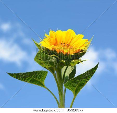 Closeup of a sunflower against a blue sky. Square Format.