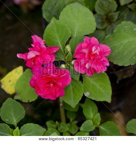 Pink Flower  In A Flower Pot