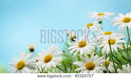 Daisy flower on blue background