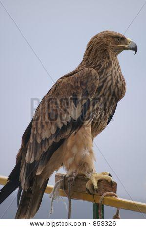 Bird, an eagle