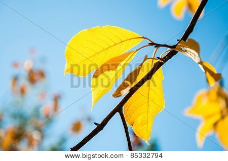 Yellow Autumn Leaves Against The Blue Sky