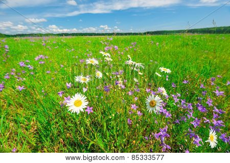 Beautiful Field With Lush Grass And Daisies