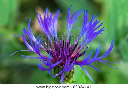 Cornflower in bloom at springtime macro close up image