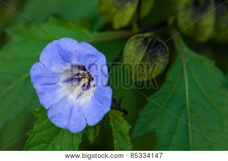 Shoo fly plant nicandra physalodes blue bell like flower