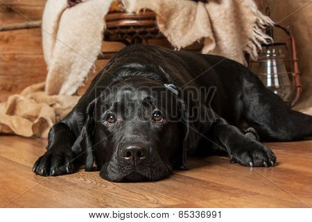 Portrait of a sad black labrador lying on the floor in a beautiful interior