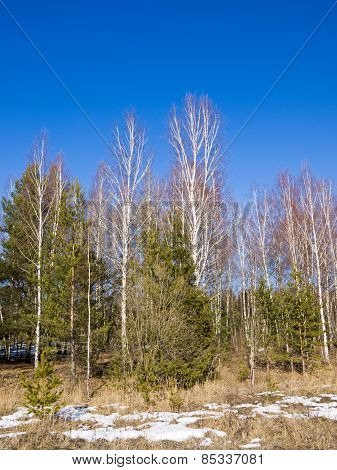 Birch, spruce and pine trees in a sunny spring day