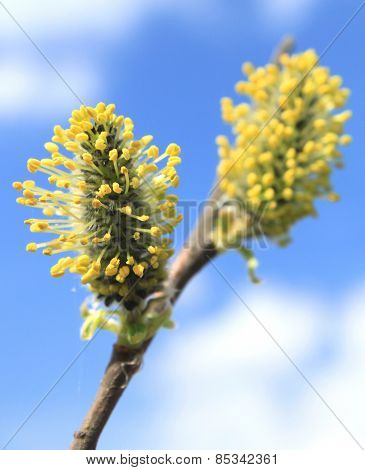 pussy willow branche with blue background
