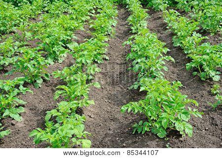 Young Green Potatoes