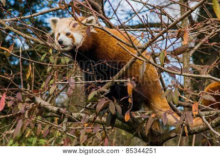 Red panda hiding in a tree