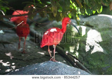 Scarlet Ibis standing