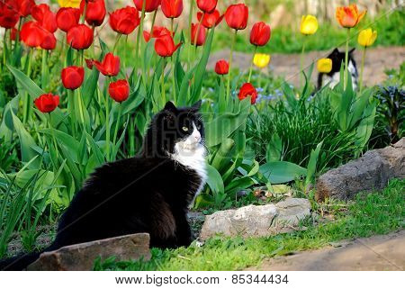 The Cat Sits Among Colorful Tulips