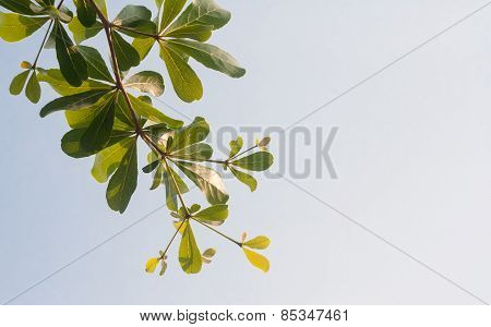 Terminalia Ivorensis Chev On Clear Sky