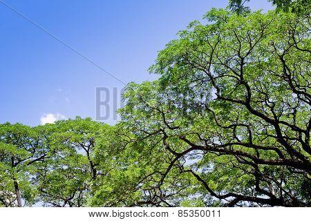 Big Tree, Common Name : Saman, Rain Tree, Monkeypod