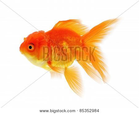 Gold Fish, Goldfish Isolation On The White Background