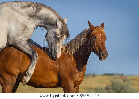 Two horse coupling