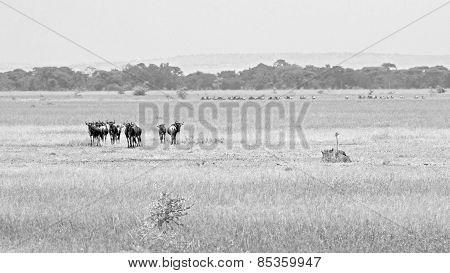 Herd Of Blue Wildebeests Grazing, In Black And White