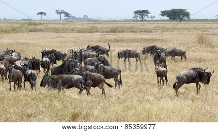 Herd Of Blue Wildebeests Grazing