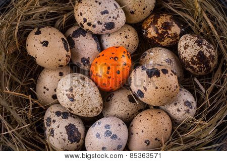 Quail Eggs In A Nest Close-up With One Orange Egg