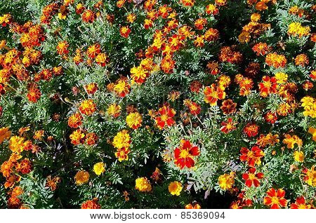 Red Flowers In A Flowerbed