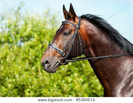 Portrait Of A Dark Bay Horse On A Background Of Green Grass