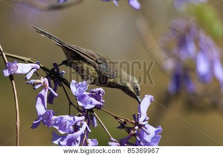A Bird In The Branches Of Jacaranda