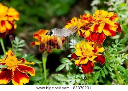 Macroglossum Stellatarum On Flower