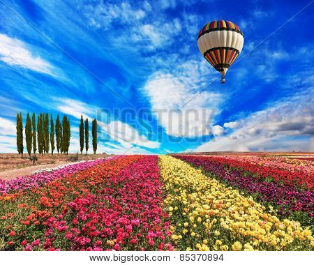 Spring windy day. Field of blooming buttercups- ranunculus. Flowers planted with broad bands of bright colors - red, claret and pink. Huge balloon flies over a field