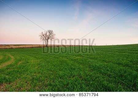 Young Cereal Field Sunset