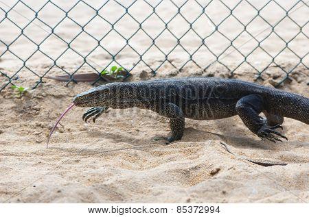 Varanus is running along wire fence in Wadduwa, Sri Lanka