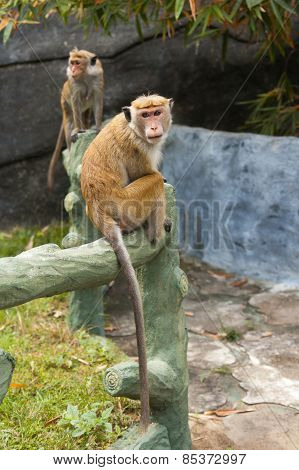 Monkeys are sitting on the wall of the Temple of Golden Buddha in Dambulla, Sri Lanka