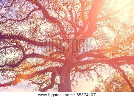 Southern Live Oak Tree With Widely Spread Branches, Dreamy Vintage Toning Applied