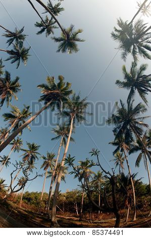 Coconut Palm Trees Perspective View.
