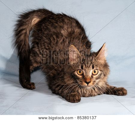 Fluffy Tabby Siberian Kitten Standing On Blue