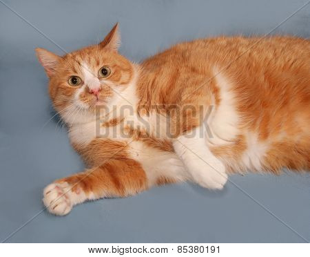 Thick Red And White Cat Lying On Blue