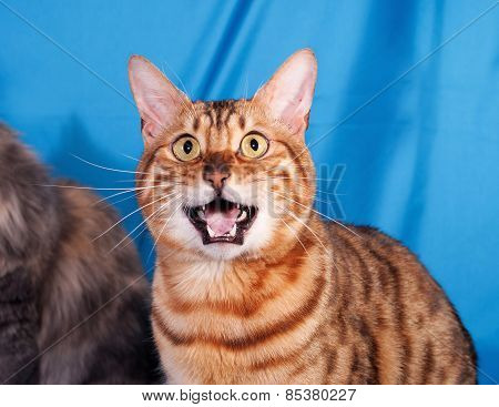 Red Bengal Cat Meowing On Blue