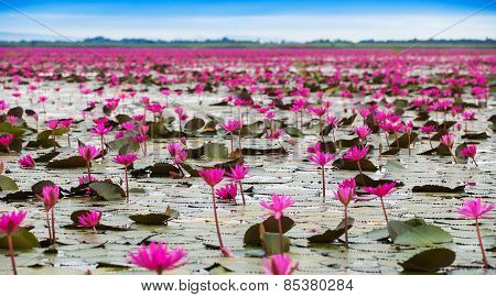 Sea Of Red Lotus , Marsh Red Lotus Sea Of Red Lotus Thailand