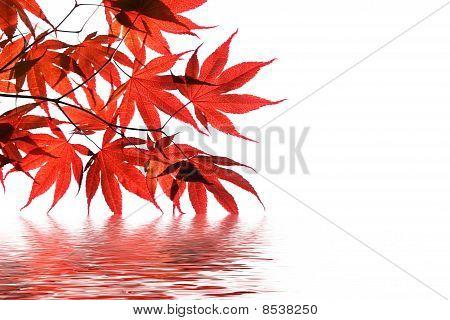 Roter Fächer-Ahorn mit Wasser-Reflektion