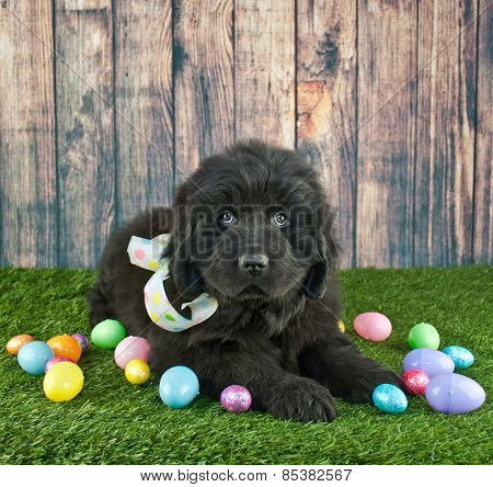 Easter Newfoundland Puppy