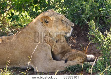 lionmother with cubs