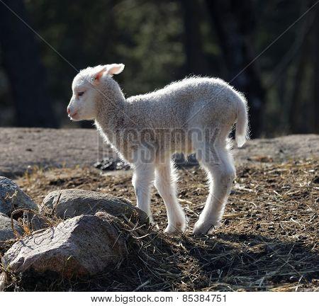 One Lamb Walking In The Meadow