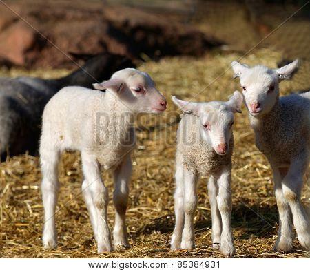 Three Curious Lamb Staring