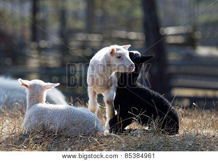 Three Lambs Enjoying Life