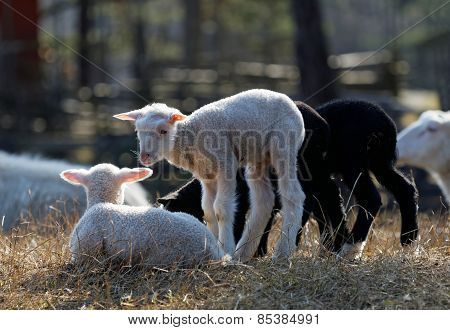 Four Young Lamb In The Meadow